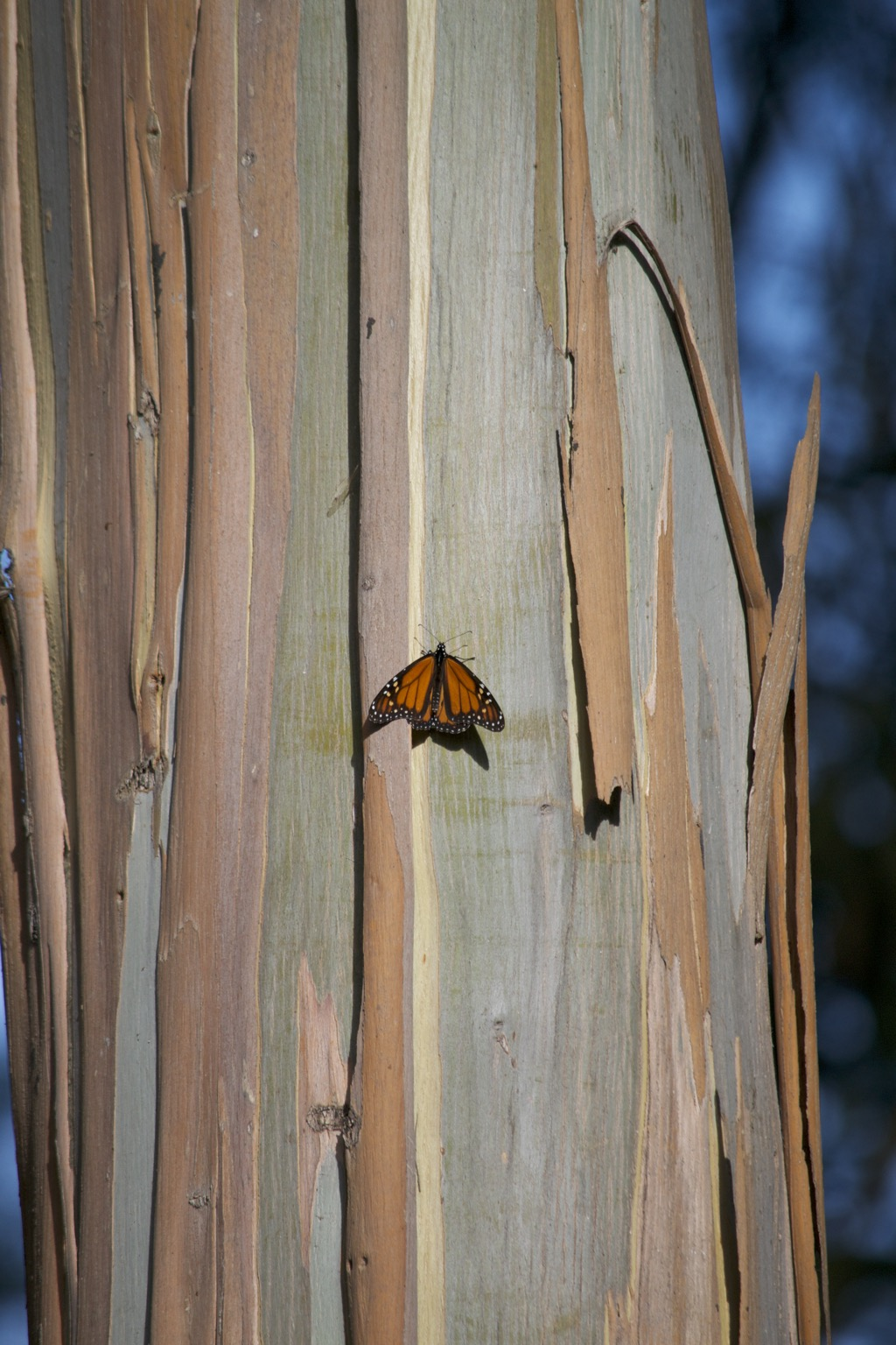 Monarch on trunk.