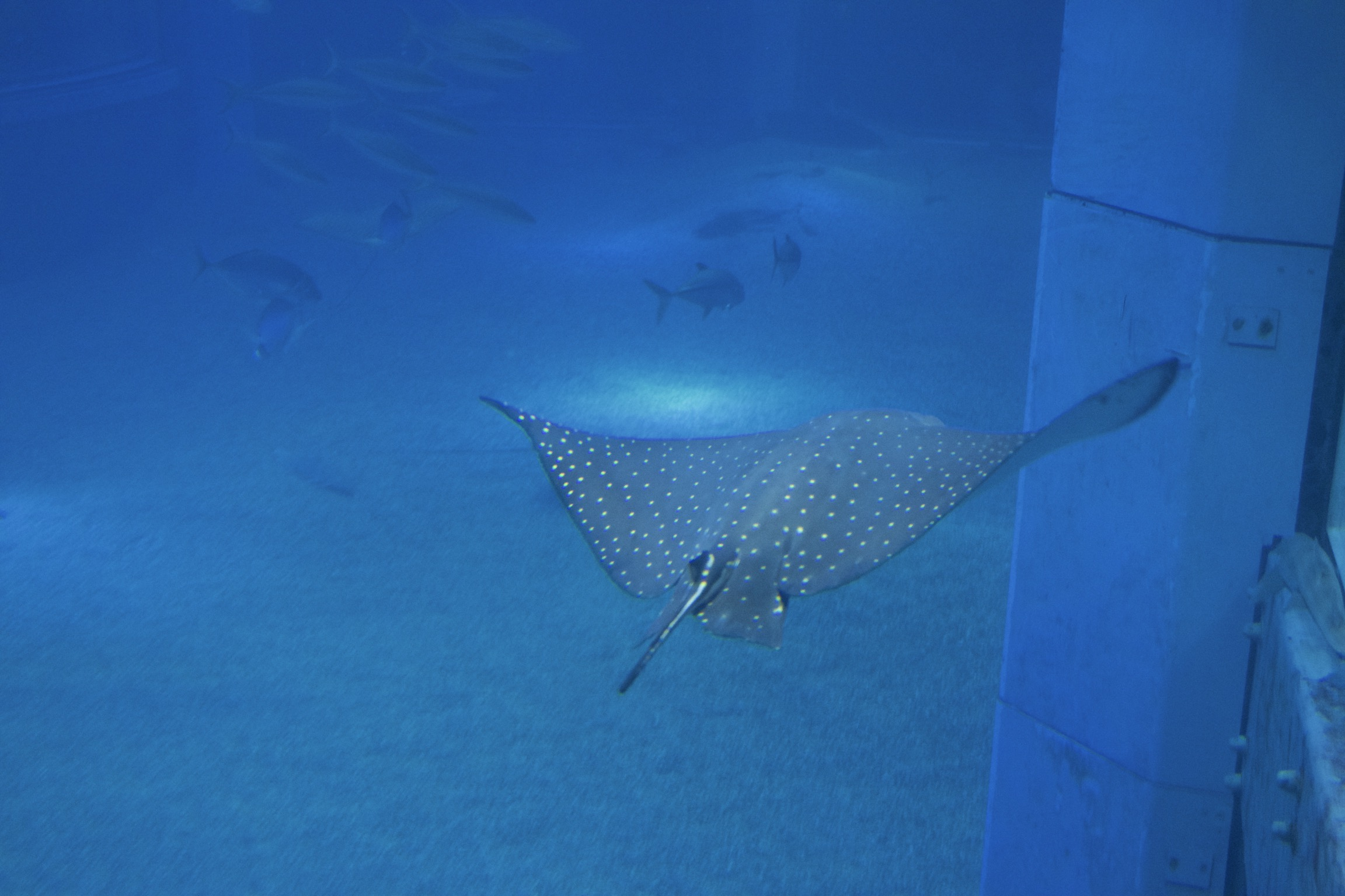 A speckled ray.