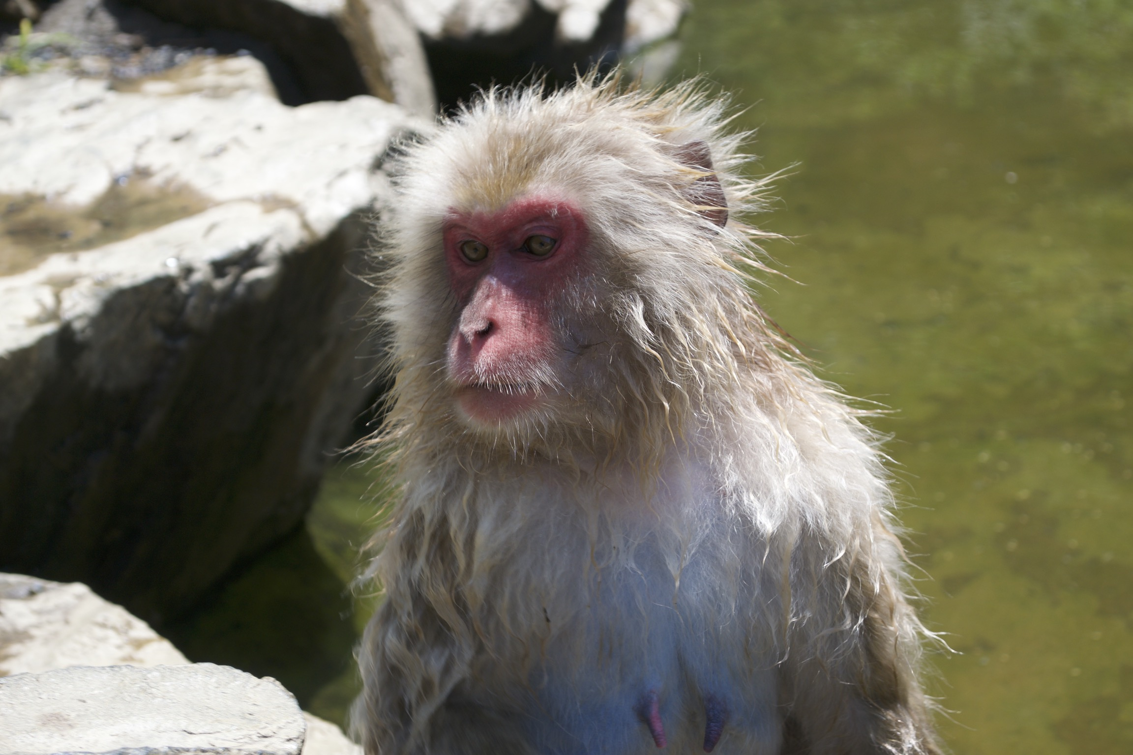 A snow monkey's wet fur sticks out.