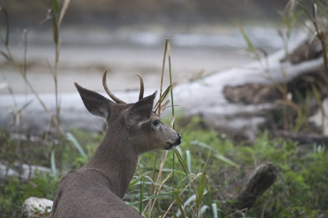 A deer, facing away from the camera, looks over its shoulder.