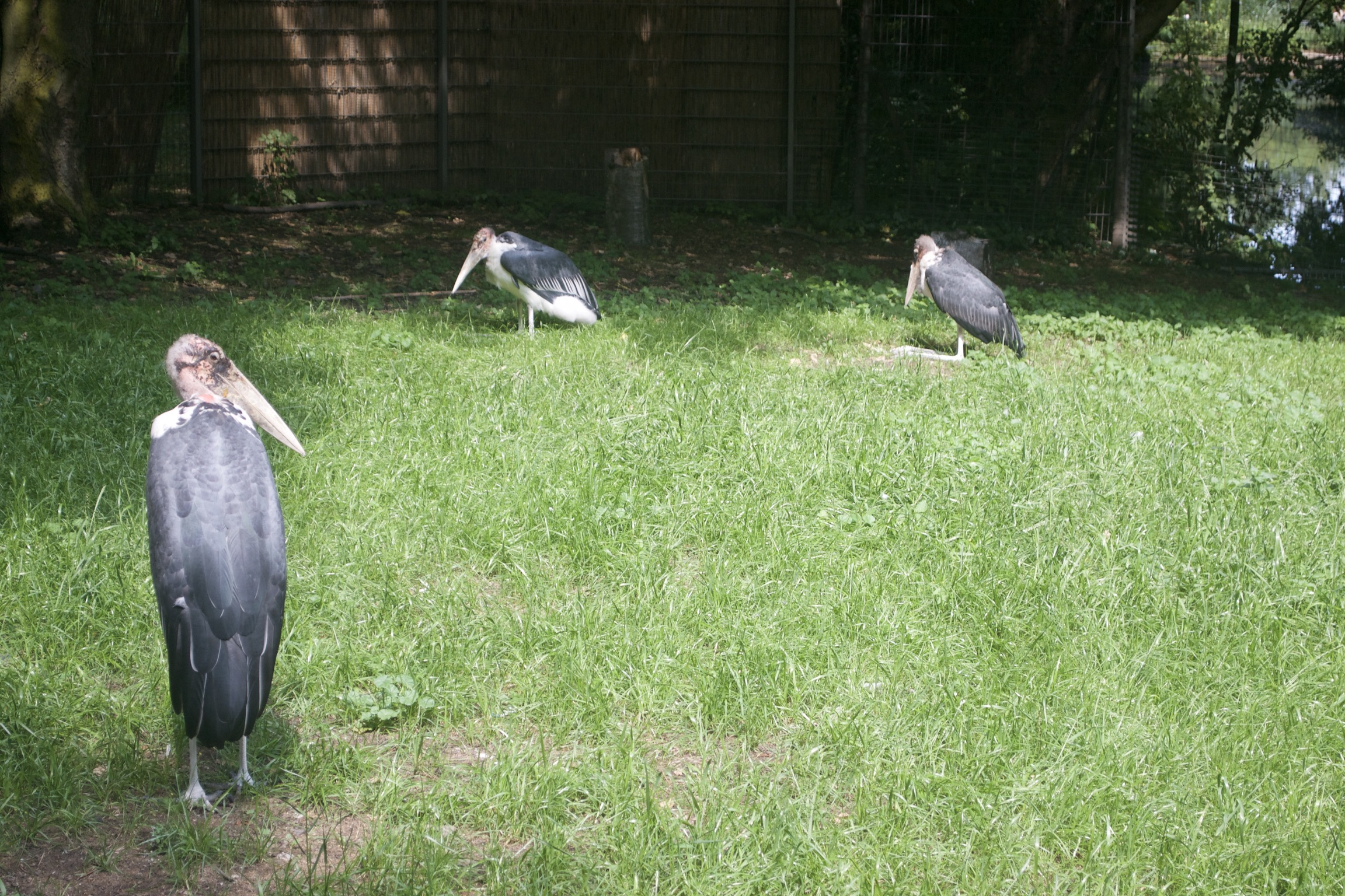 Three enormous black birds with bald heads and long beaks relax on grass.