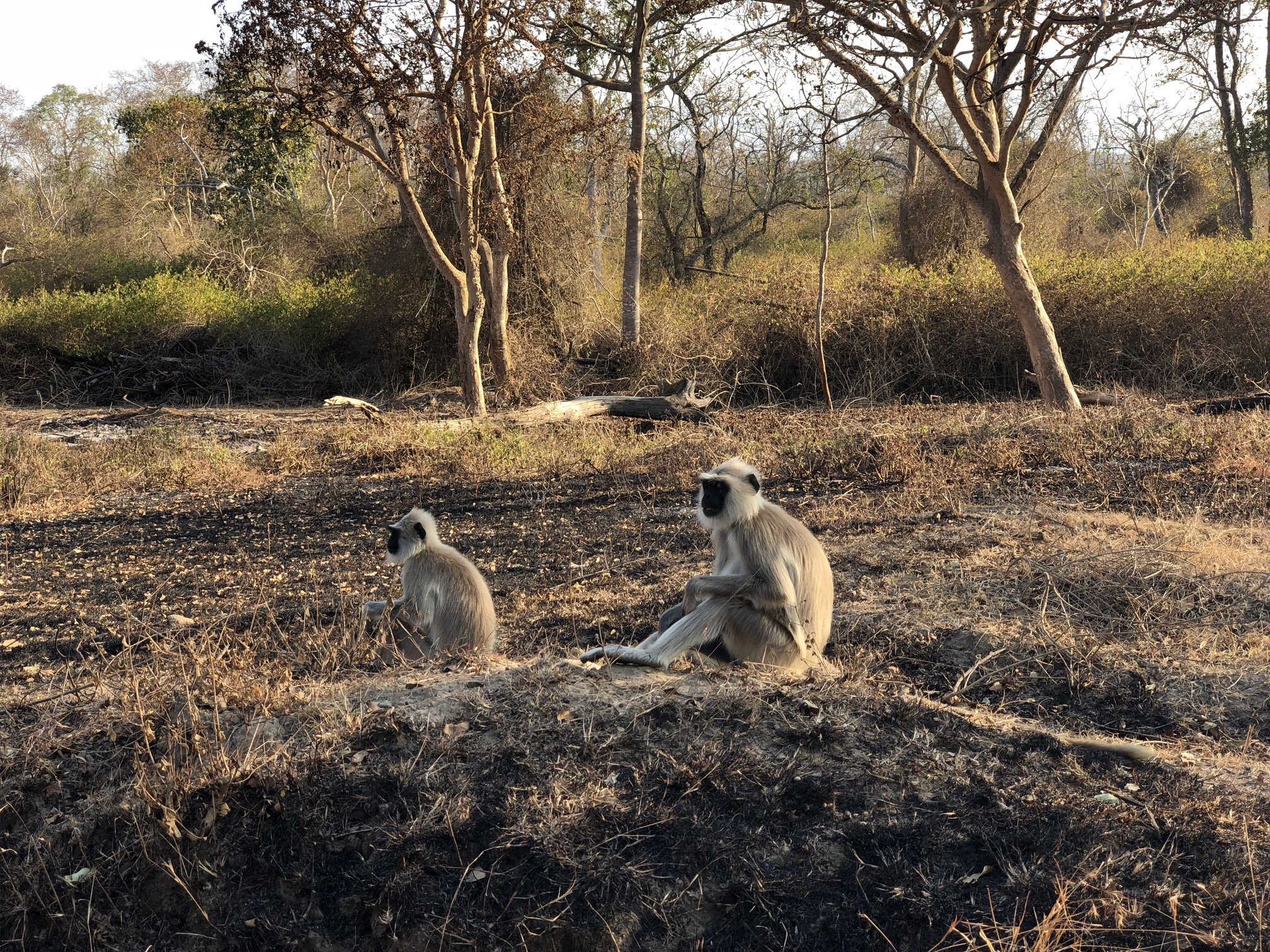 Two monkeys with brown and gray coats and dark black faces sit on a burned patch of ground.