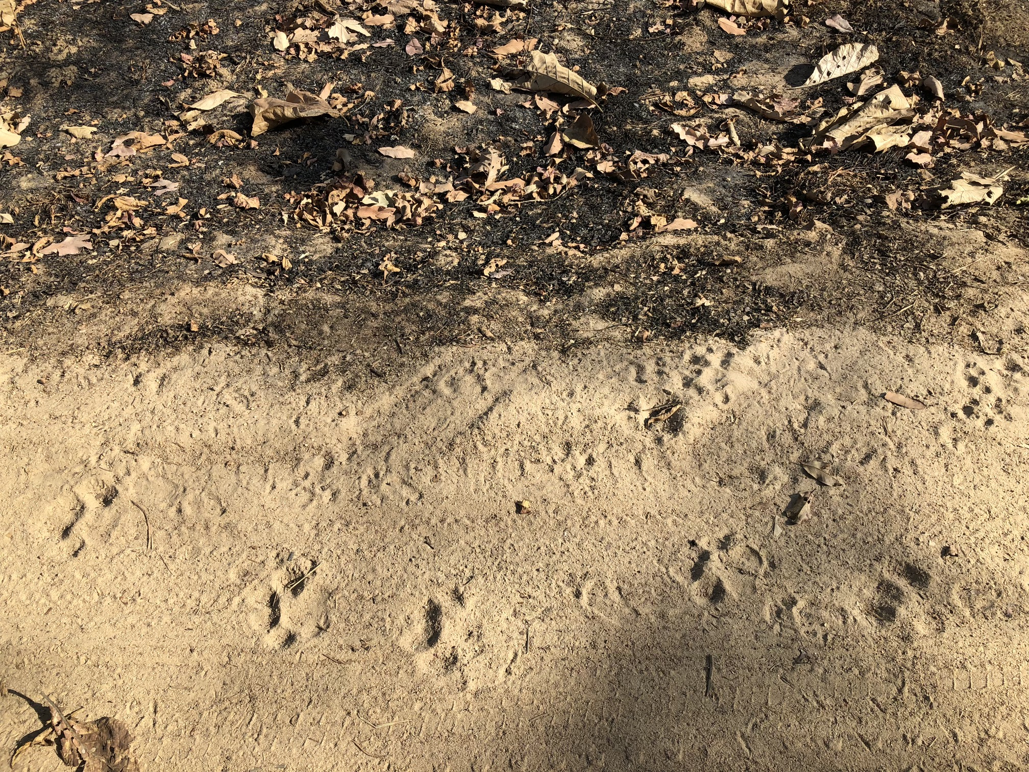 Large paw prints in the dirt of a road indicate a large cat was near recently.